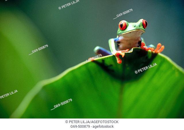 Red-eyed tree frog (Agalychnis callidryas) behind a leaf. Selva Verde. Costa Rica
