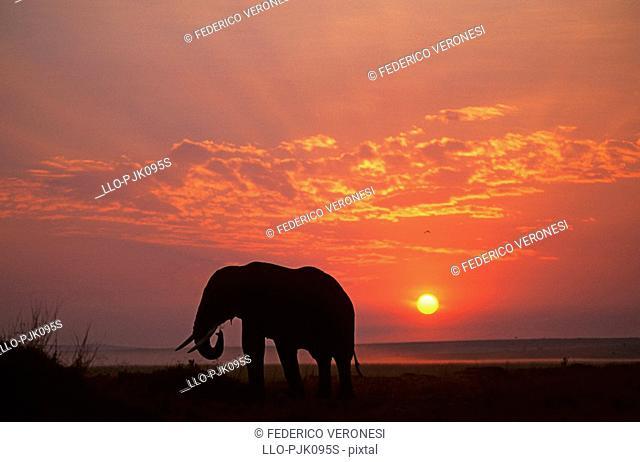 Silhouette of an African Elephant Loxodontaafricana at sunrise, Masai Mara, Kenya, Africa