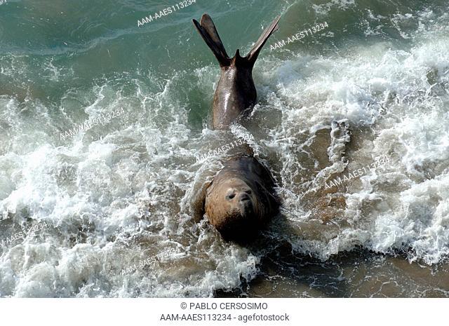 Seal, Southern Elephant Seal, Mirounga Leonina, adult male, Peninsula Valdes, Patagonia, Argentina, South America, South Atlantic
