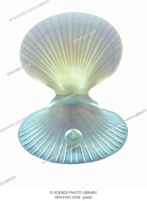 Scallop shell and pearl
