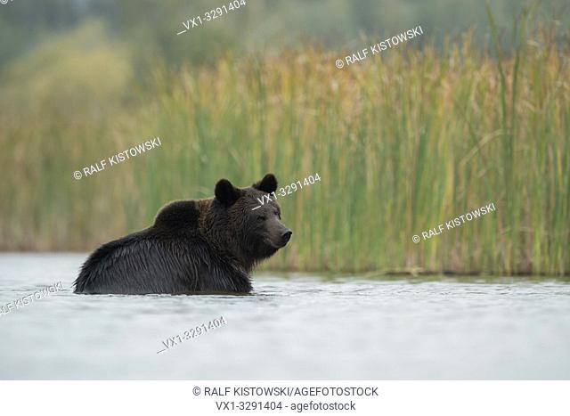 European Brown Bear / Braunbaer ( Ursus arctos ), young, playing, bathing, taking a bath in shallow water, in nice surrounding of a reed belt, Europe