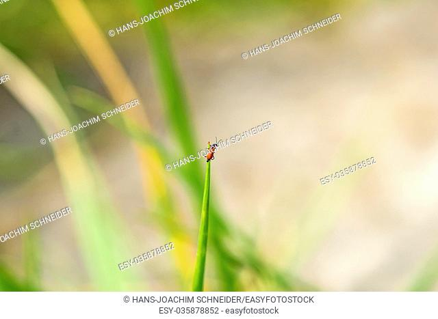 small red beetle on a grass in Germany