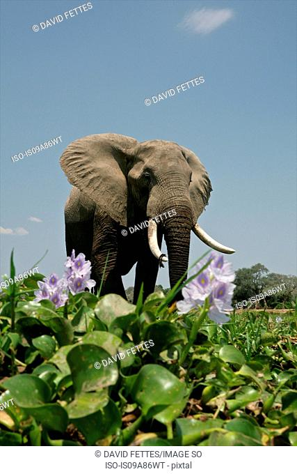 African Elephant standing by River Hyacinth, Mana Pools National Park, Zimbabwe, Africa