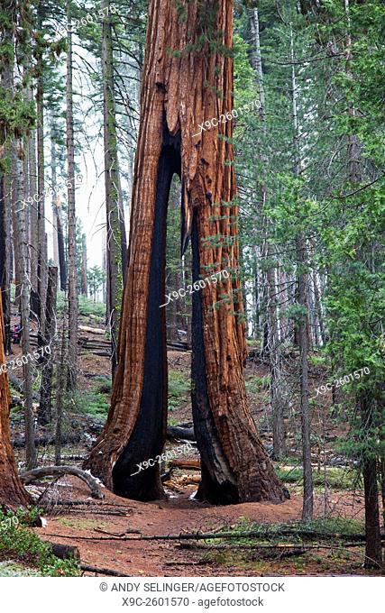 The Clothespin Tree in Mariposa Grove, Yosemite National Park, California, USA