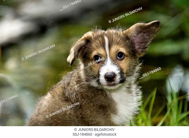 Mixed-breed dog. Portrait of a puppy (8 weeks old) next to a garden pond