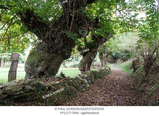 Province of Lugo, Spain: Sweet chestnut trees line the Camino Primitivo between the villages of Bacurín and O Hospital