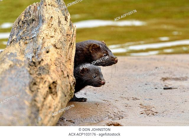 Mink (Mustela vison) Mother and pups, captive raised, Minnesota wildlife Connection, Sandstone, Minnesota, USA