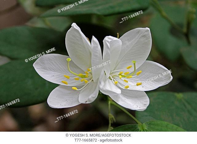 flower of Bauhinia Acuminata plant