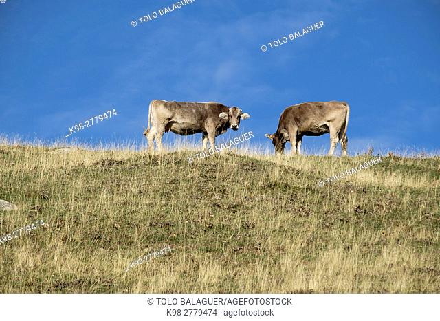 Two cows grazing, Valley of Hecho, western valleys, Pyrenean mountain range, province of Huesca, Aragon, Spain