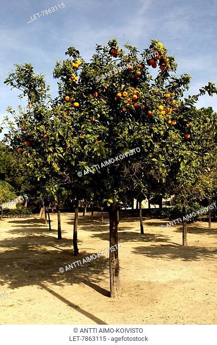 Orange trees in Valencia, Spain
