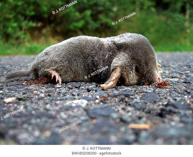 European mole (Talpa europaea), dead one on a street with ants, Germany, North Rhine-Westphalia