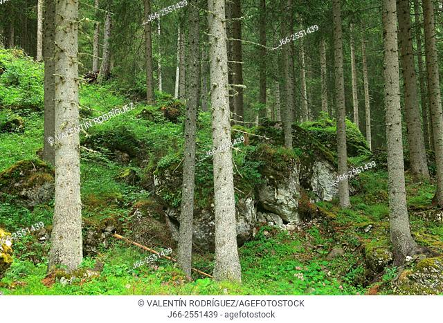 Coniferous forest at the foot of Marmolada. Dolomites. Italy