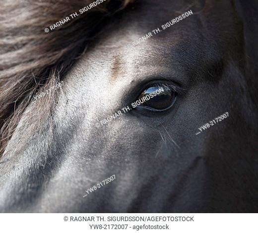 Icelandic Black Stallion, Iceland
