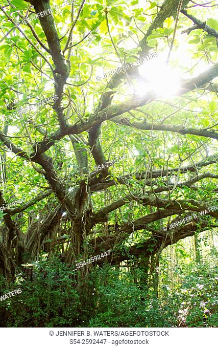 A giant banyan tree in Hugh Taylor Birch State Park, Fort Lauderdale, Florida. Ficus citrifolia Urostigma