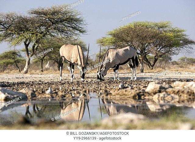 Gemsbok or Oryx (Oryx gazella) - Onkolo Hide, Onguma Game Reserve, Namibia, Africa