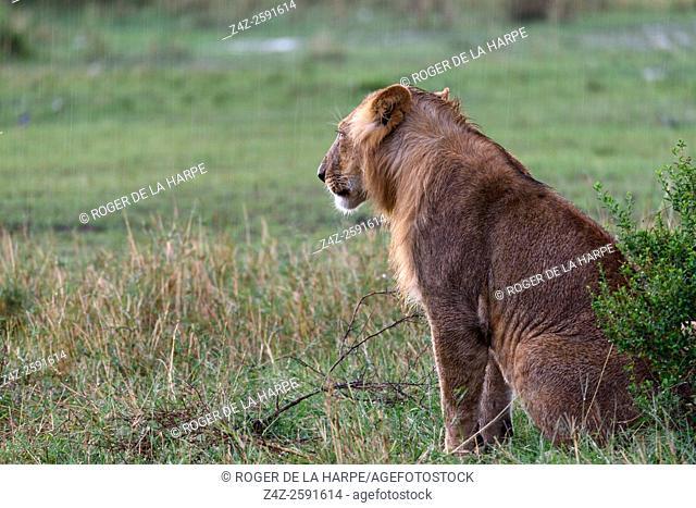 Lion (Panthera leo) in the rain. Serengeti National Park. Tanzania