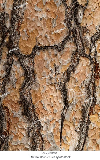 Wooden texture. Crimean pine tree, close-up view
