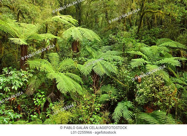 Tree ferns in The Chasm, Milford road, Fiorland National Park, New Zealand south island