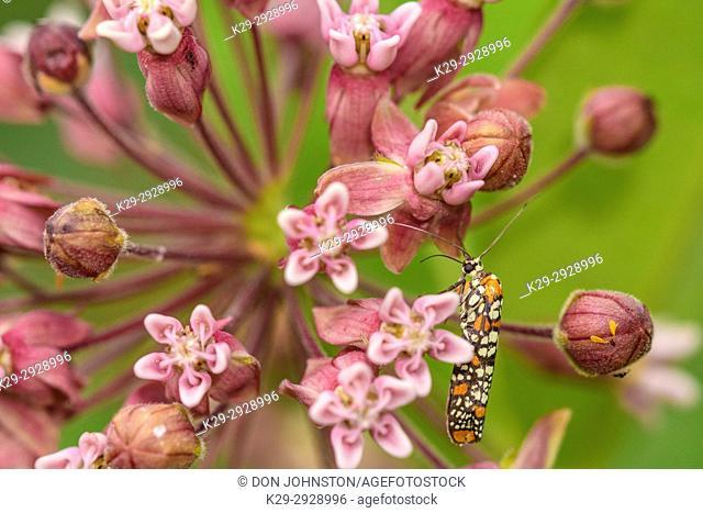 Ailanthus webworm (Atteva aurea), Greater Sudbury, Ontario, Canada