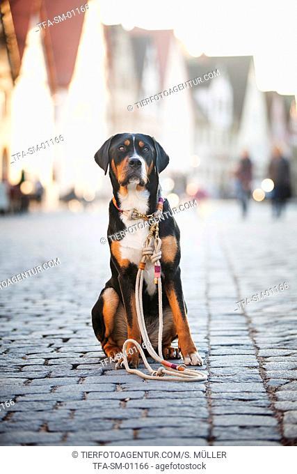 sitting Greater Swiss Mountain Dog