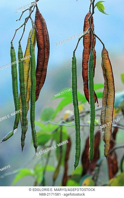 Wild legumes, Cloudy forest, Altos de Pipe, Miranda Venezuela