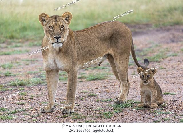 Lioness with her cub in early morning, Masai mara, Kenya, Africa