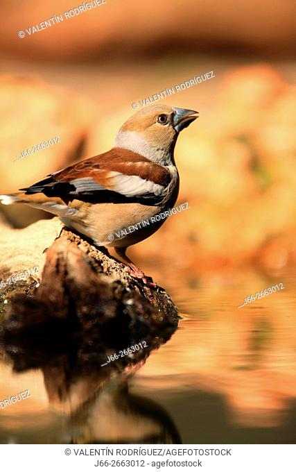 Hawfinch (Coccothraustes coccothraustes) in the region of the Manchuela. Cuenca