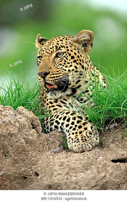 Leopard (Panthera pardus), portrait, Sabi Sabi Game Reserve, Kruger National Park, South Africa, Africa