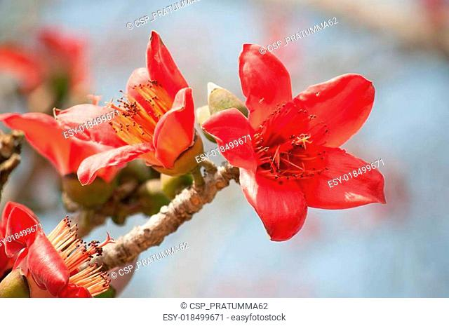 Bombax ceiba tree Stock Photos and Images   age fotostock