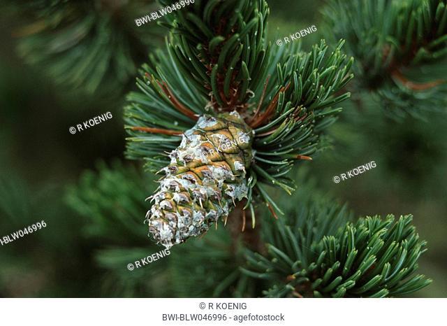 bristlecone pine Pinus aristata, young cone