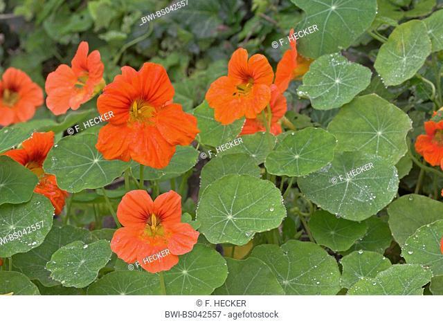 Indian cress, common nasturtium, garden nasturtium (Tropaeolum majus), blooming