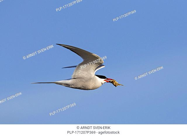 Arctic tern (Sterna paradisaea) with little crab in beak flying against blue sky