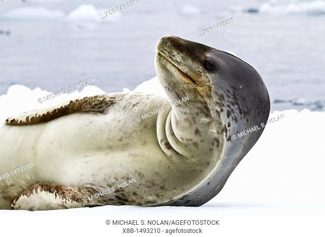 Adult female leopard seal Hydrurga leptonyx hauled out on ice at Brown Bluff near the Antarctic Peninsula, Southern Ocean  MORE INFO The leopard seal is the...