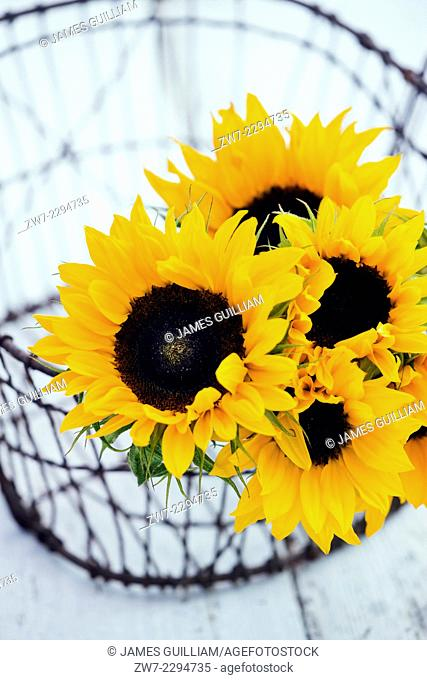 Wire basket with Sunflowers