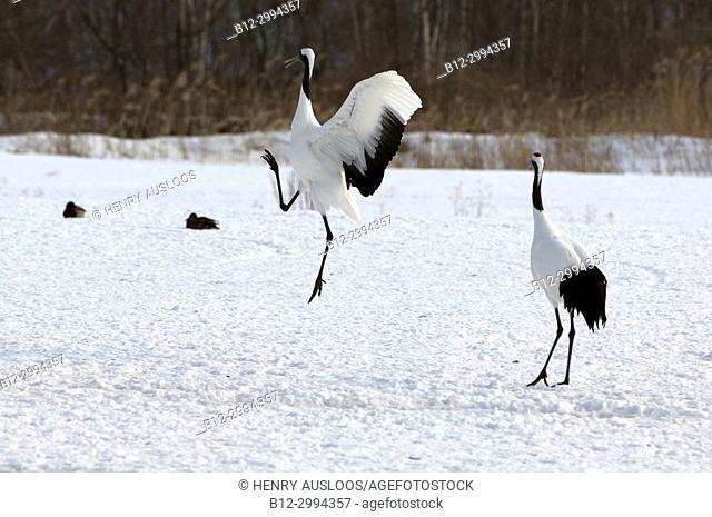 Japanese crane, Red-crowned crane (Grus japonensis) dancing, Japan