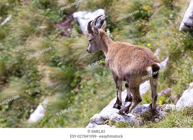 Young alpine ibex (capra ibex) standing on the rock