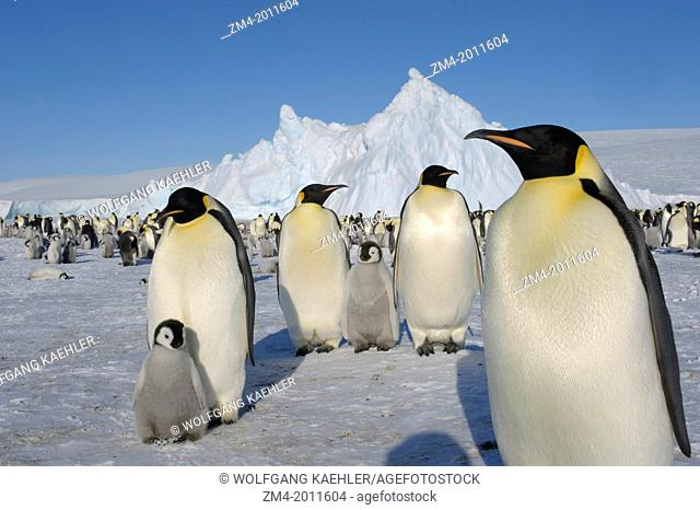 ANTARCTICA, WEDDELL SEA, SNOW HILL ISLAND, EMPEROR PENGUIN COLONY Aptenodytes forsteri WITH CHICKS, ADULTS WITH CHICKS IN FOREGROUND