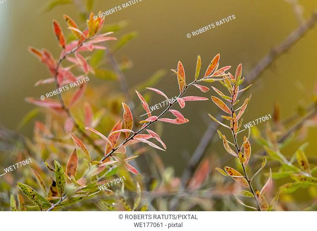 Autumn background with bush branches. Bush with red and green leaves in Latvia
