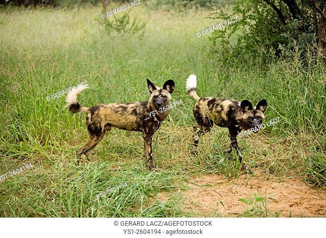 African Wild Dog, lycaon pictus, Namibia