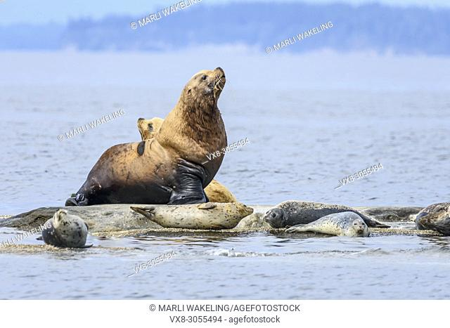 Steller's sea lions, Eumetopias jubatus and Harbour seals, Phoca vitulina, San Juan Islands, Washington, United States, Pacific