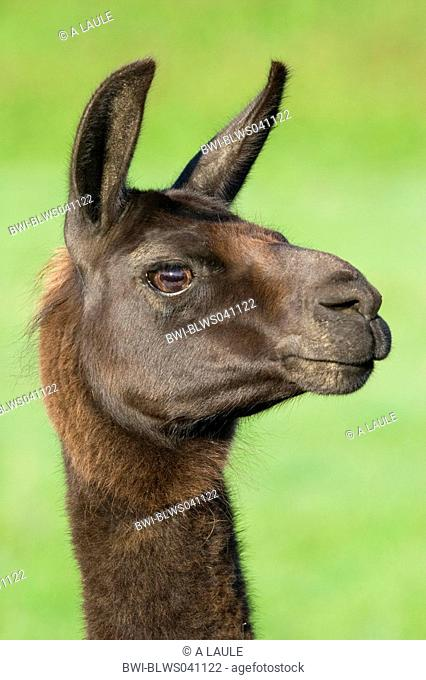llama Lama glama, portrait, Germany