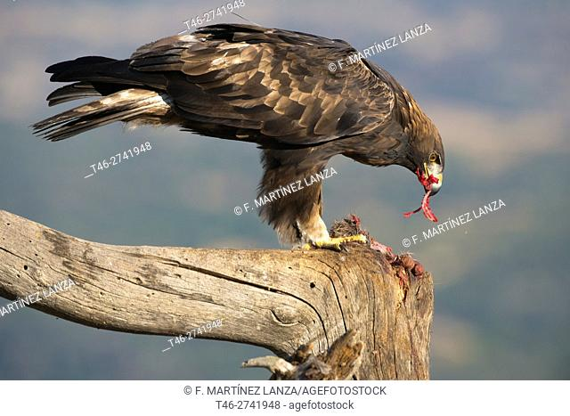 golden eagle or eagle flow (Aquila chrysaetos). Photographed in the Natural Park of Iruela Valley. Avila
