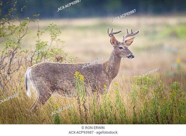 White-tailed Deer (Odocoileus virginianus) buck, Manitoulin Island, Ontario