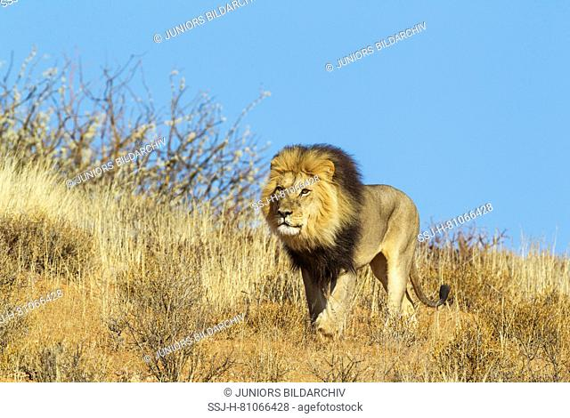 African Lion (Panthera leo). Black-maned Kalahari male, roaming on a grass-grown sand dune. Kalahari Desert, Kgalagadi Transfrontier Park, South Africa