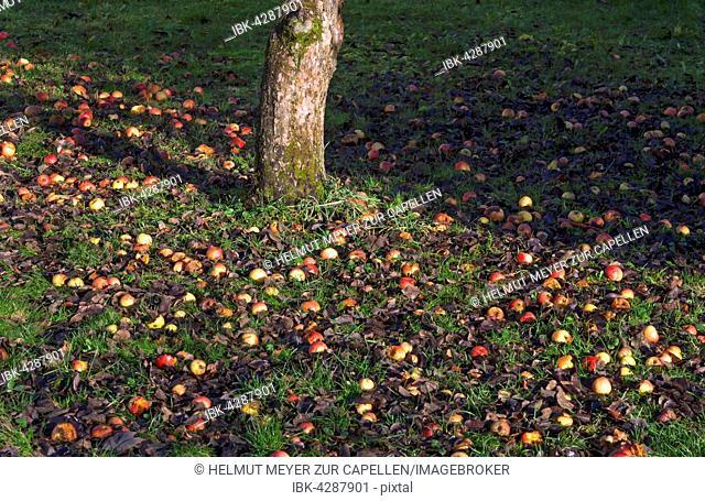 Apples (Malus sp.) in grass, fallen fruit, Bavaria, Germany