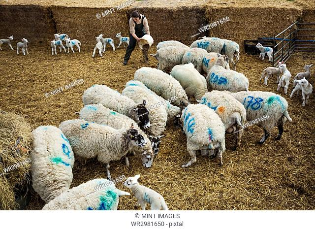 Flock of sheep and newborn lambs with blue numbers painted onto their sides standing in a stable on straw