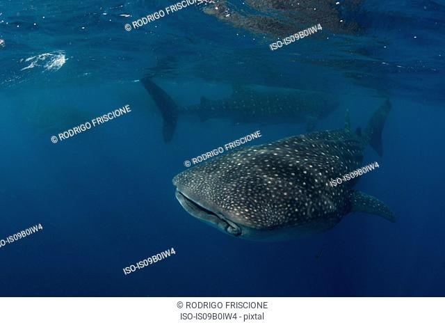 Large whale sharks (Rhincodon typus) feeding on fish eggs at sea surface, Isla Mujeres, Mexico