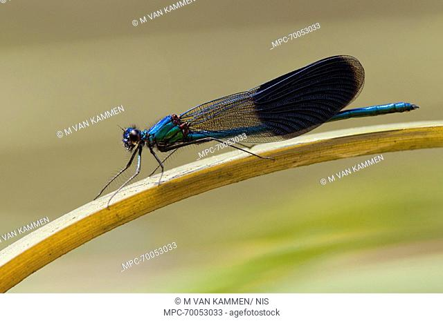 Banded Demoiselle (Calopteryx splendens) damselfly male, Europe