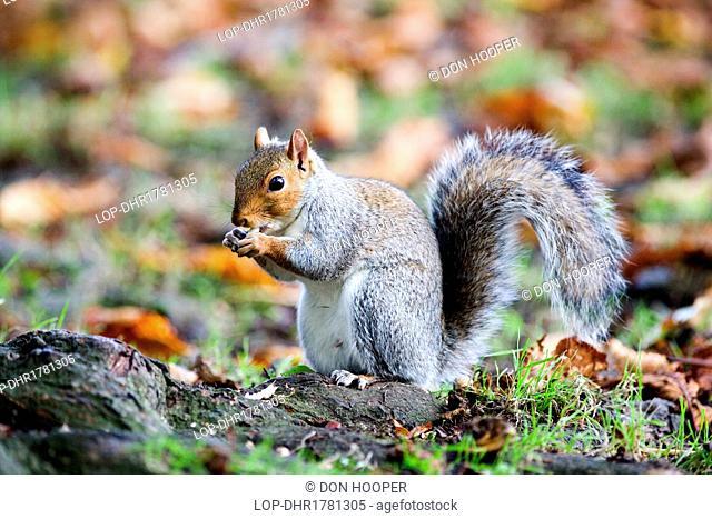 England, Avon, Bristol. A grey squirrel
