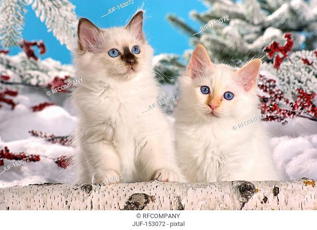 Sacred cat of Burma - two kittens in snow